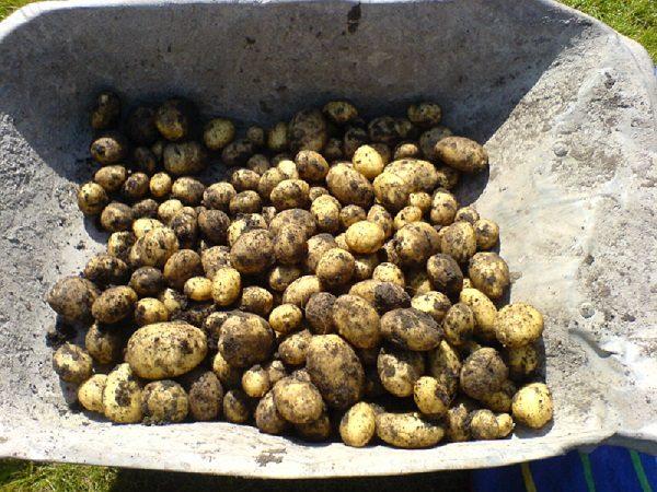 Mud covered potatoes in a wheelbarrow