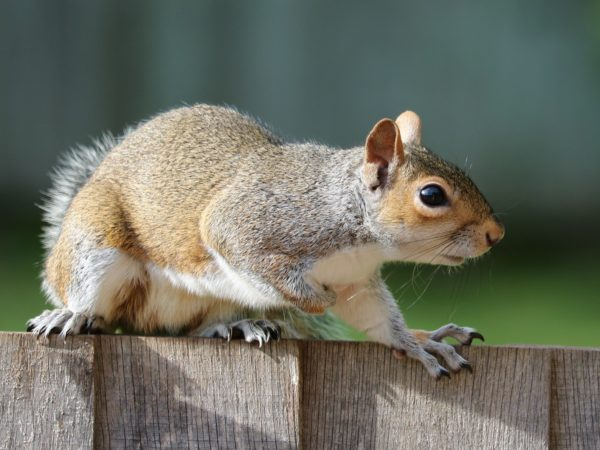 Grey squirrel on fence